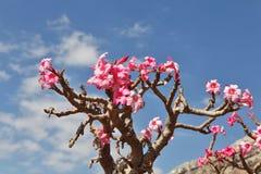 Flaschenbaum in der Blüte Lizenzfreie Stockbilder