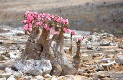 Flaschenbaum in der Blüte Lizenzfreie Stockfotos
