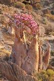 Flaschenbaum in der Blüte - Adenium obesum Lizenzfreie Stockfotografie