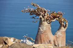 Flaschenbaum, Socotra Stockfotos