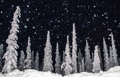 A Flash on Falling Snow. Snow covers artic black spruce Royalty Free Stock Image