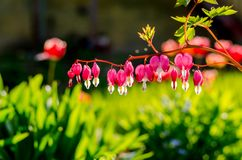 Flash Flowers in home garden, Otaru, Hikkaido, Japan. Royalty Free Stock Images
