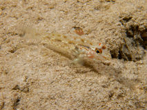 Flasher sandgoby. A flasher sandgoby in Mimpi lagoon channel, near Menjangan Island in Bali Stock Photos