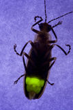 Flashing Firefly - Lightning Bug. Firefly - Lightning Bug Flashing at Night Stock Image