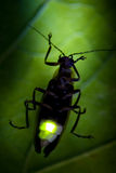 Flashing Firefly - Lightning Bug. Firefly - Lightning Bug Flashing at Night. This is the actual flash of the Firefly Royalty Free Stock Photos