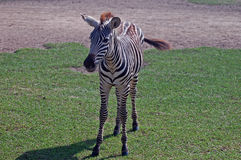 Flashy Grant's Zebra Baby. Flashy Grant's Zebra Basby, spends its busy life on the move seeking the best grazing in the mostly dusty world of the African savanna Royalty Free Stock Photo
