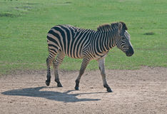 Flashy Grant's Zebra Walking. Grant's Zebra Walking, spends its busy life on the move seeking the best grazing in the mostly dusty world of the African savanna Royalty Free Stock Photos