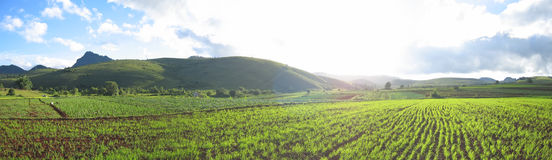 Flashy green ricefields. Of the valley - Kalaw - Myanmar - Panorama Royalty Free Stock Photo