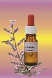 Flaska med boten för Bach blommamateriel, ljung (den vulgaris callunaen) Royaltyfria Foton