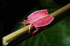 Flat Bodied Bug. A photo of a flat body bug with segmented antenna Royalty Free Stock Image