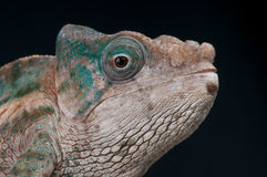 Flat-casqued Chameleon Royalty Free Stock Image