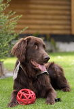 Flat Coated Retriever Royalty Free Stock Photography