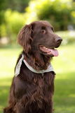 Flat coated retriever Stock Image