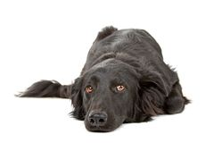 Flat coated Retriever Royalty Free Stock Photos
