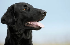 Flat coated retriever Stock Images