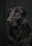 Flat-coated retriever Royalty Free Stock Image