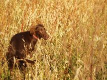 Flat-coated retriever Royalty Free Stock Photography