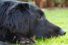 Flat-Coated Retriever Royalty Free Stock Images