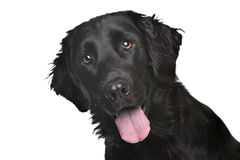 Flat-Coated Retriever Stock Photos