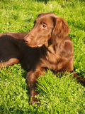 Flat-coated retriever Royalty Free Stock Photo