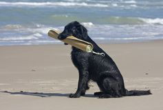 Flat Coated Retriever with beach mat Royalty Free Stock Image