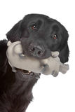 Flat coated retriever dog Royalty Free Stock Image