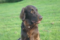 Flat coated retriever dog Royalty Free Stock Images