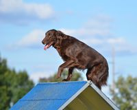 Flat-Coated Retriever at Dog Agility Trial. Liver Flat-Coated Retriever Climbing Over an A-Frame at Dog Agility Trial Royalty Free Stock Photography