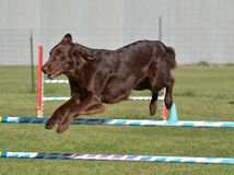 Flat-Coated Retriever at Dog Agility Trial. Liver Flat-Coated Retriever Leaping Over a Jump at Dog Agility Trial Royalty Free Stock Photography
