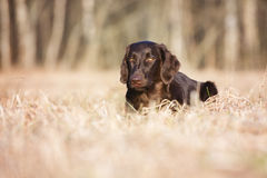Flat coated retriever dog on a field Royalty Free Stock Images