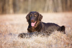 Flat coated retriever dog on a field Royalty Free Stock Photo