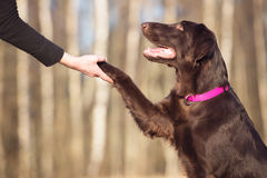 Flat coated retriever dog gives paw Stock Photography