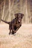 Flat coated retriever dog running outdoors Stock Photo