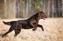 Flat coated retriever dog running outdoors Stock Photos