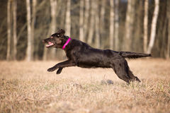 Flat coated retriever dog running outdoors Royalty Free Stock Image