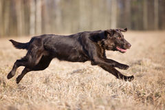 Flat coated retriever dog running outdoors Royalty Free Stock Photos