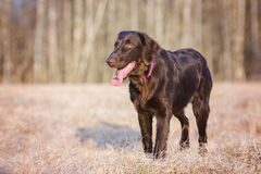 Flat coated retriever dog standing Royalty Free Stock Photo