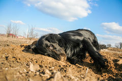 Happy purebred black dog enjoys himself in sand. Flat coated retriever Stock Photo