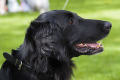 Flat coated retriever in profile. A smiling female flat coated retriever is posing in profile Royalty Free Stock Photography