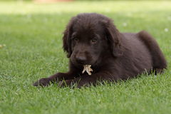 Flat Coated Retriever puppy Royalty Free Stock Photos