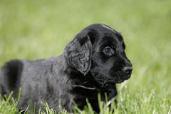Flat coated retriever puppy Stock Photography