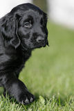 Flat coated retriever puppy Royalty Free Stock Images