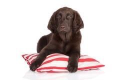 Flat coated retriever puppy Stock Photos