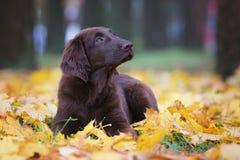Flat coated retriever puppy Stock Photography