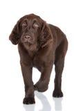 Flat coated retriever puppy Stock Image