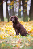 Flat coated retriever puppy Royalty Free Stock Photo