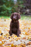 Flat coated retriever puppy Royalty Free Stock Photography