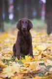 Flat coated retriever puppy Royalty Free Stock Image