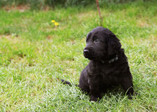 Flat coated retriever puppy Stock Images