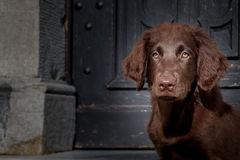 Flat Coated Retriever Puppy. Is happy Stock Image